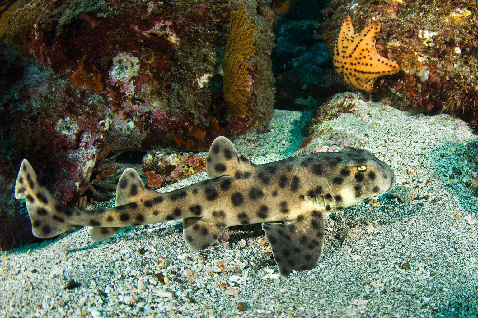 Galapagos Stuart Shark, Stuart Hai