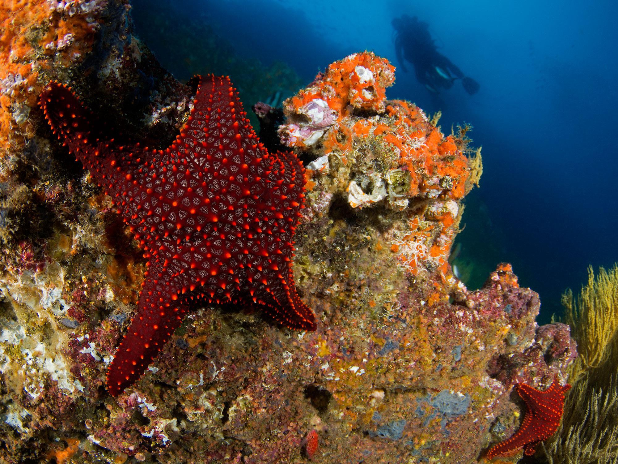 Galapagos Sea Star, Seestern