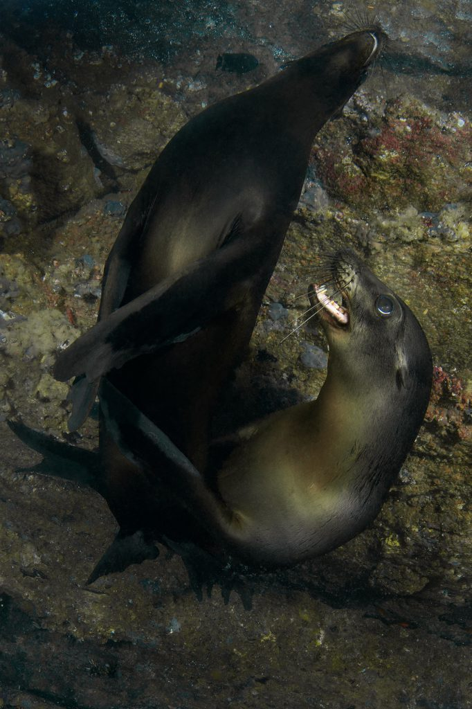 Galapagos Sea Lions, Seelöwen