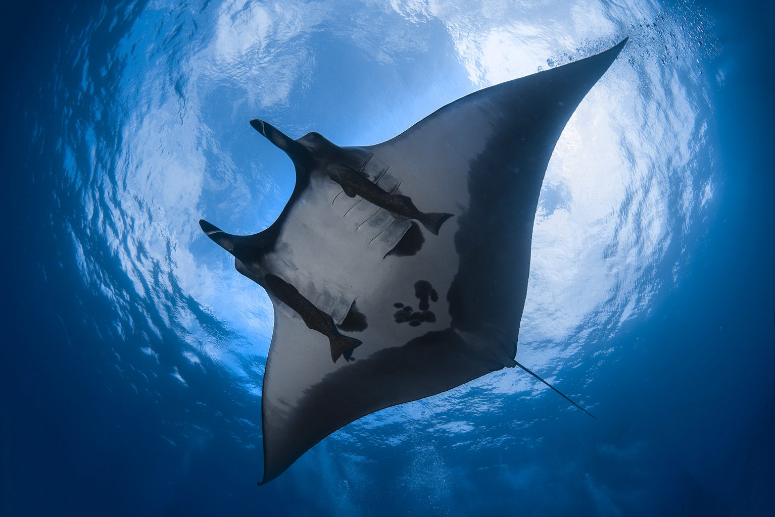 Giant Manta Rays, San Benedicto Revillagigedo ( Socorro ) Islands, Mexico