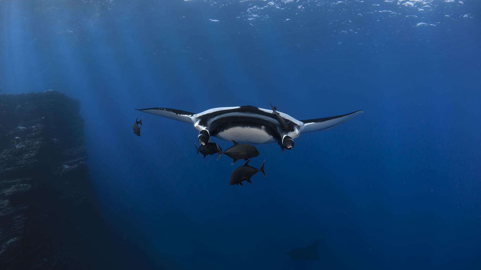 Giant Manta Rays, San Benedicto Revillagigedo ( Socorro ) Islands, Mexico