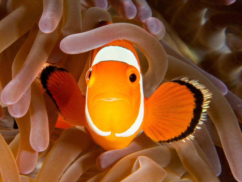 Raja Amat Nemo Fish
