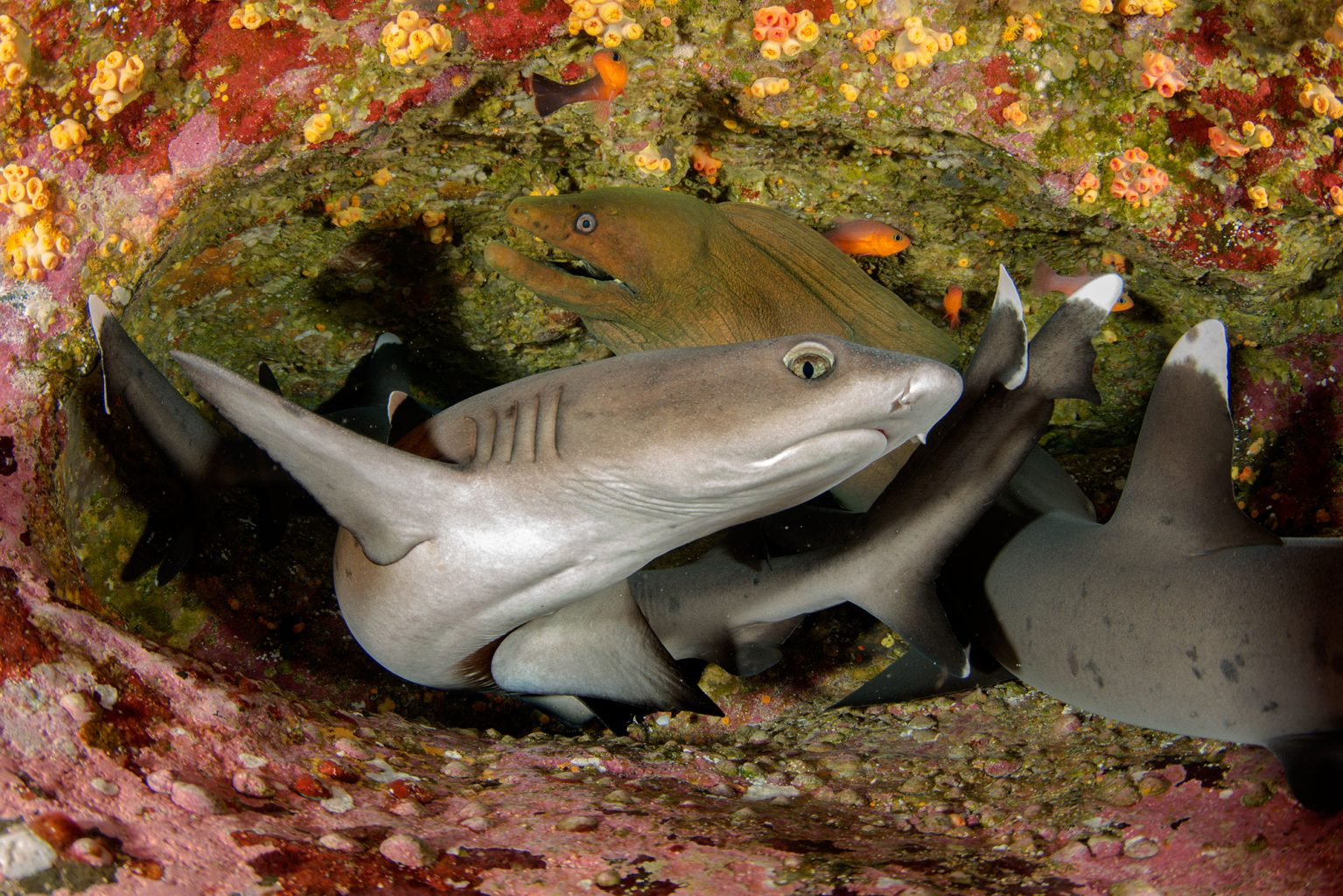 Sharks, Morey Eel, Roca Partida Revillagigedo ( Socorro ) Islands, Mexico
