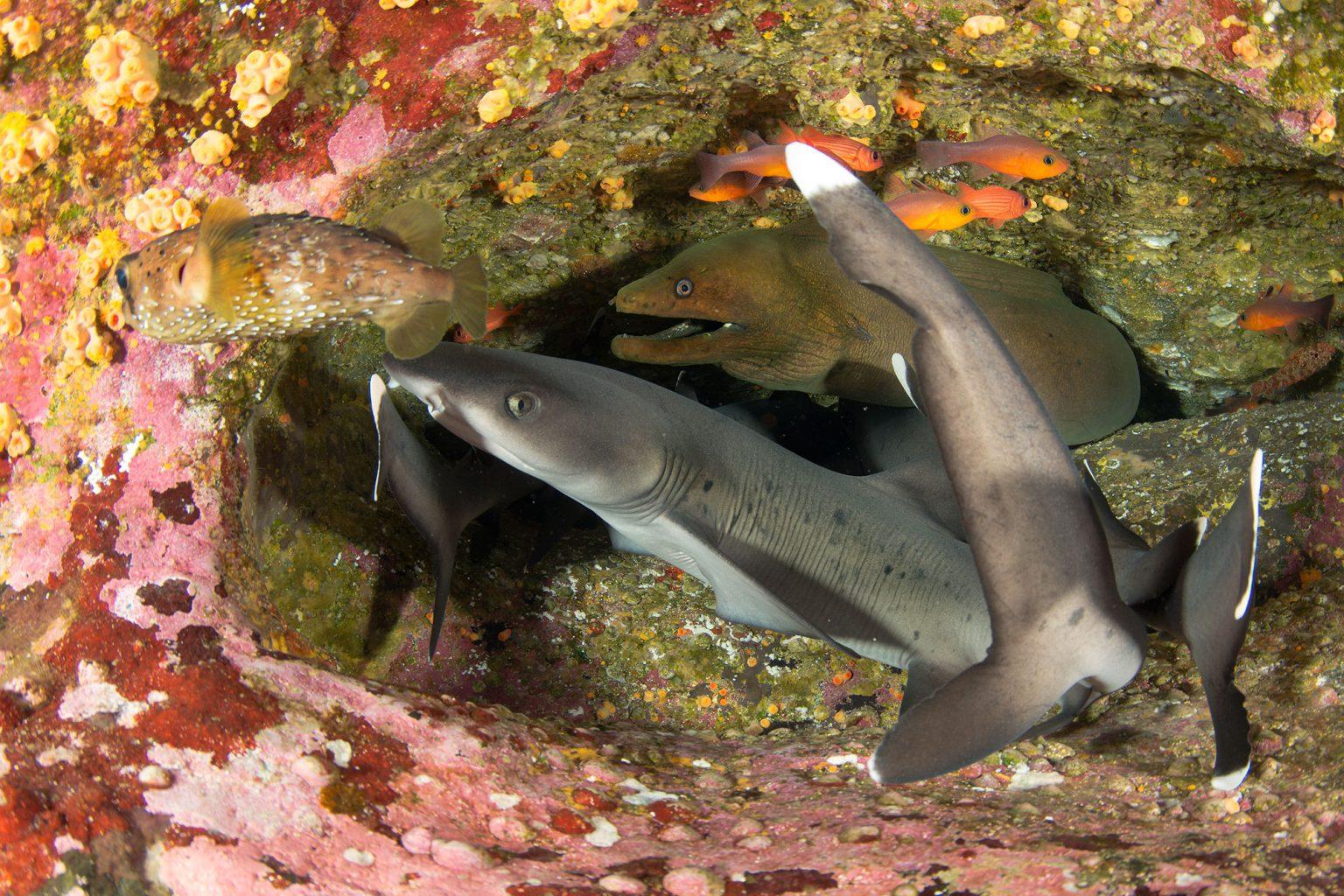 Sharks, Roca Partida Revillagigedo ( Socorro ) Islands, Mexico