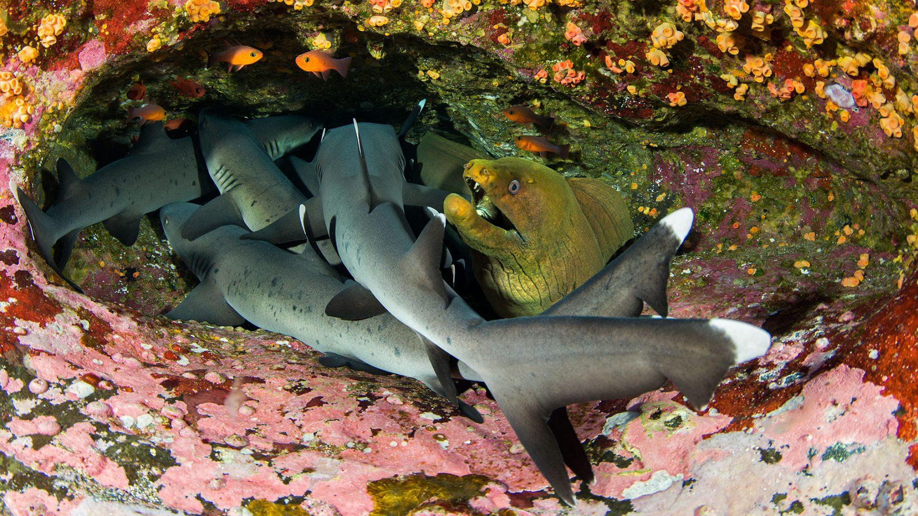 White Reef Sharks and Morey Eel in Cave, Roca Partida Revillagigedo ( Socorro ) Islands, Mexico