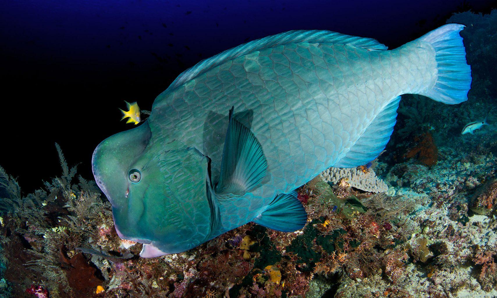 Raja Ampat Bumphead Parrot Fish, Büffelkopf Papageienfisch