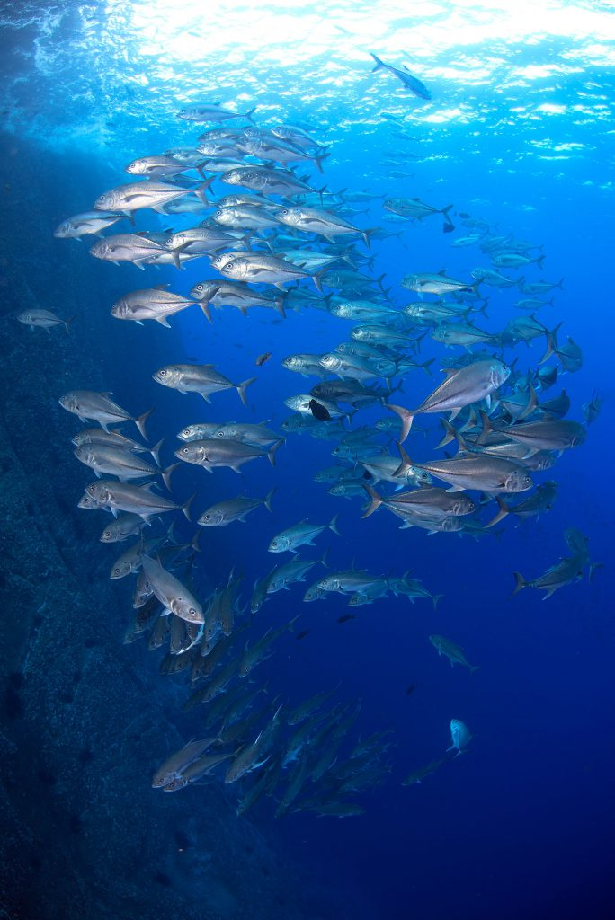 Kack Fish School, Roca Partida Revillagigedo ( Socorro ) Islands, Mexico