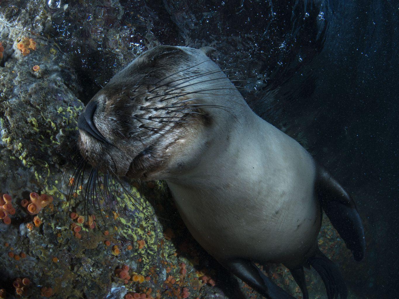 California Sea Lions at Los Islotes, Sea of Cortez, Mexico