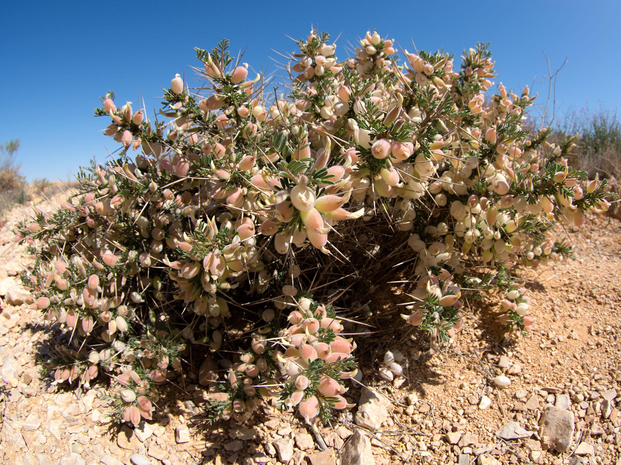 Spring Desert Bloom, Eilat - israel