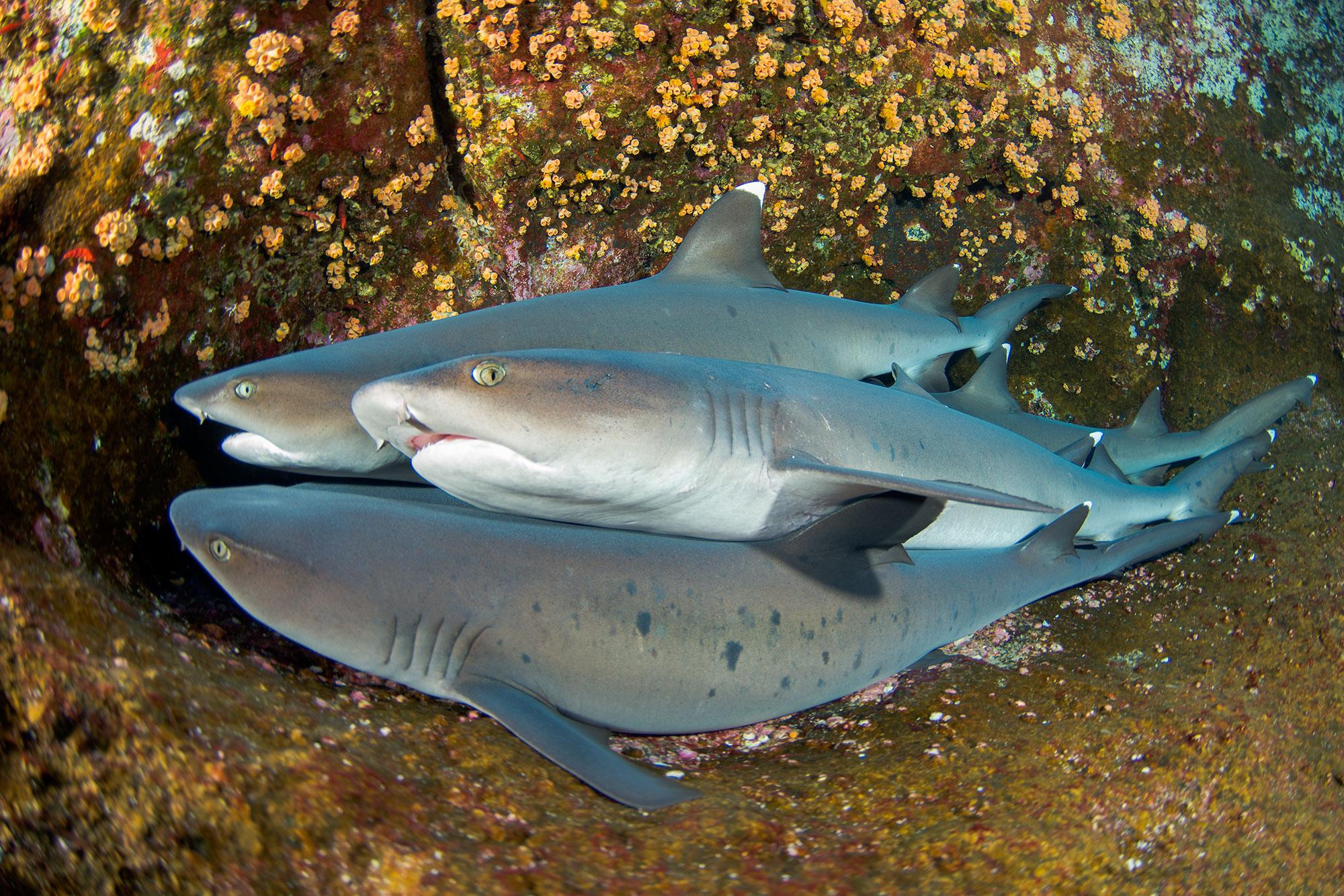 White Tip Reef Sharks, Roca Partida Revillagigedo ( Socorro ) Islands, Mexico