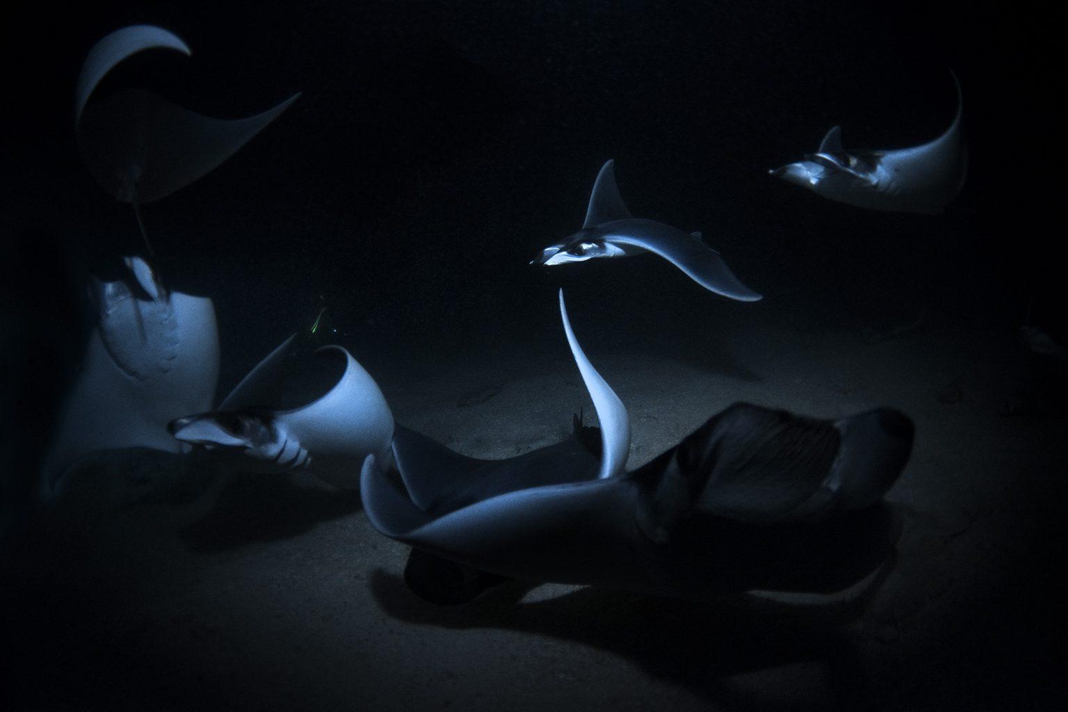Mobula Night Dive at Isla Espiritu Santo, Sea of Cortez, Mexico