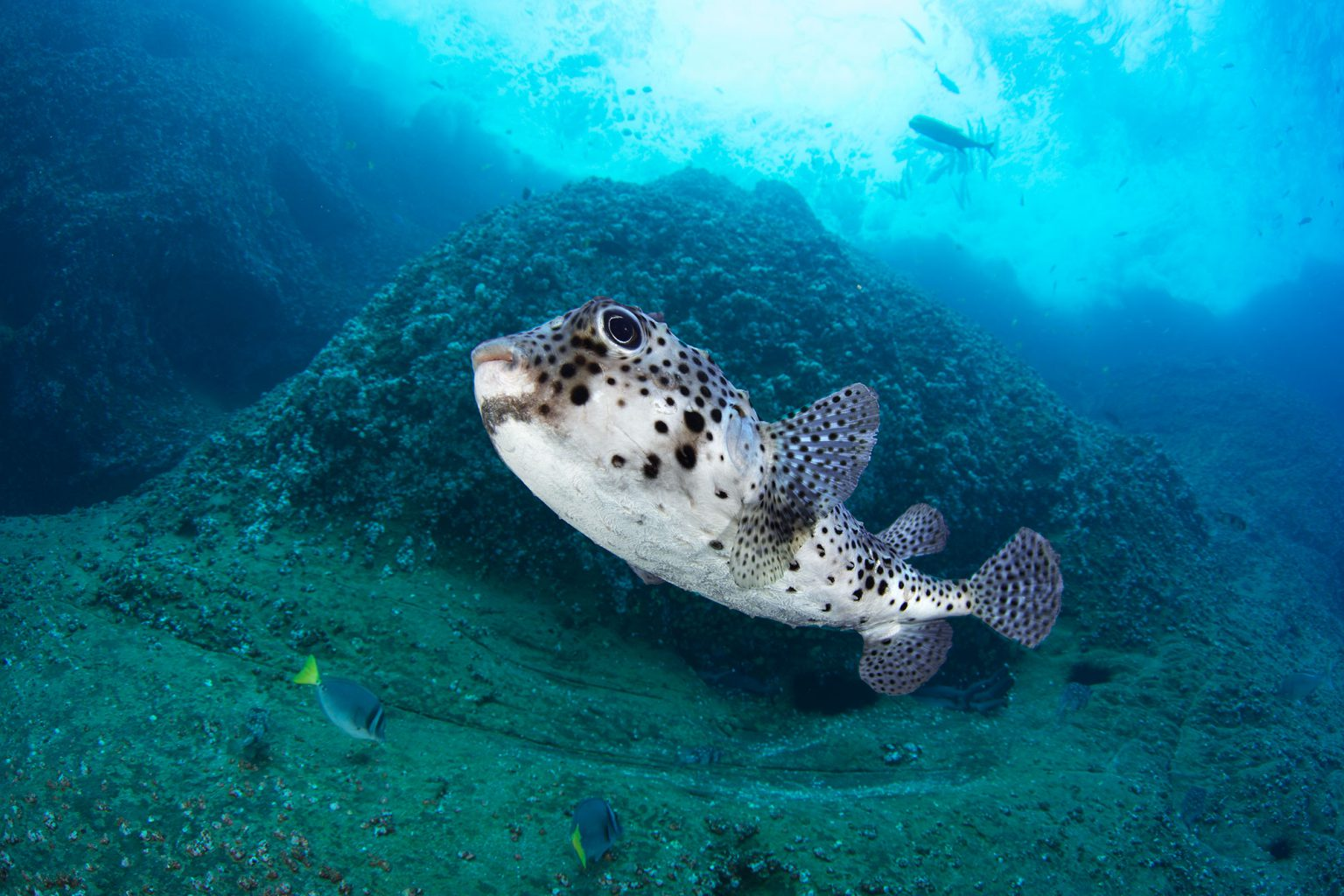 Puffer Fish, Roca Partida Revillagigedo ( Socorro ) Islands, Mexico