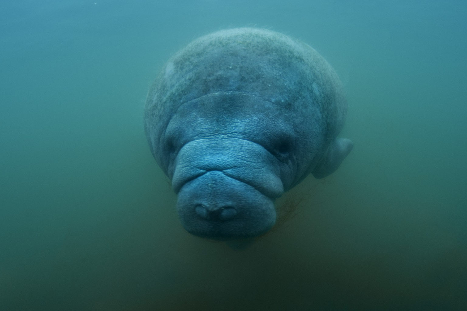 Florida Manatee Portrait at Crystal River