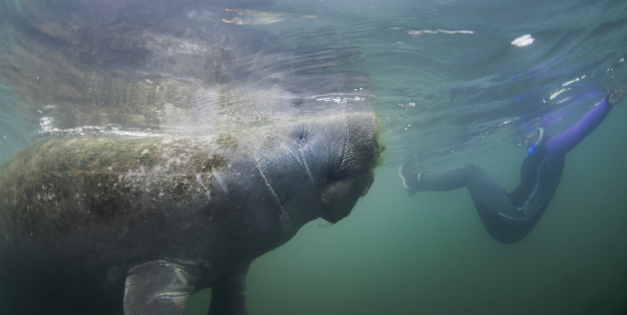 Florida Manatee at Crystal River