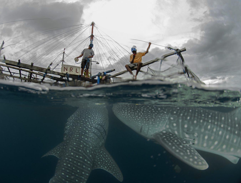 Cenderawashi Bay Whale Sharks, Walhaie, Indonesia