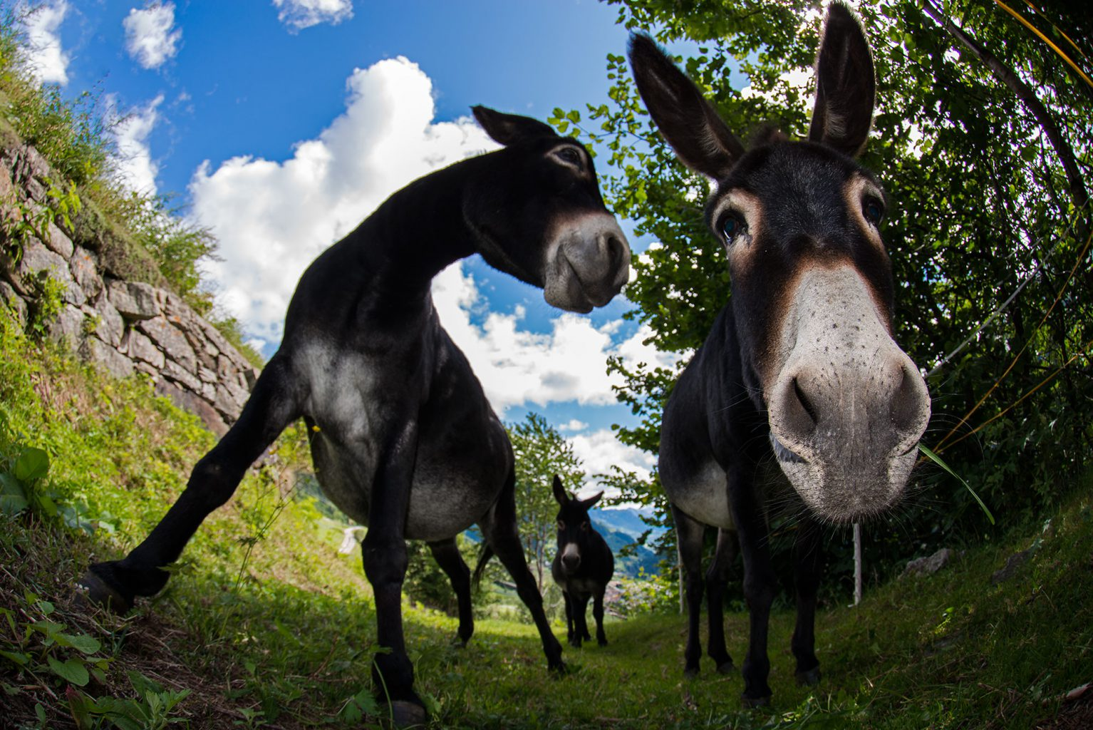 Donkeys, Airolo, Ticino - Switzerland