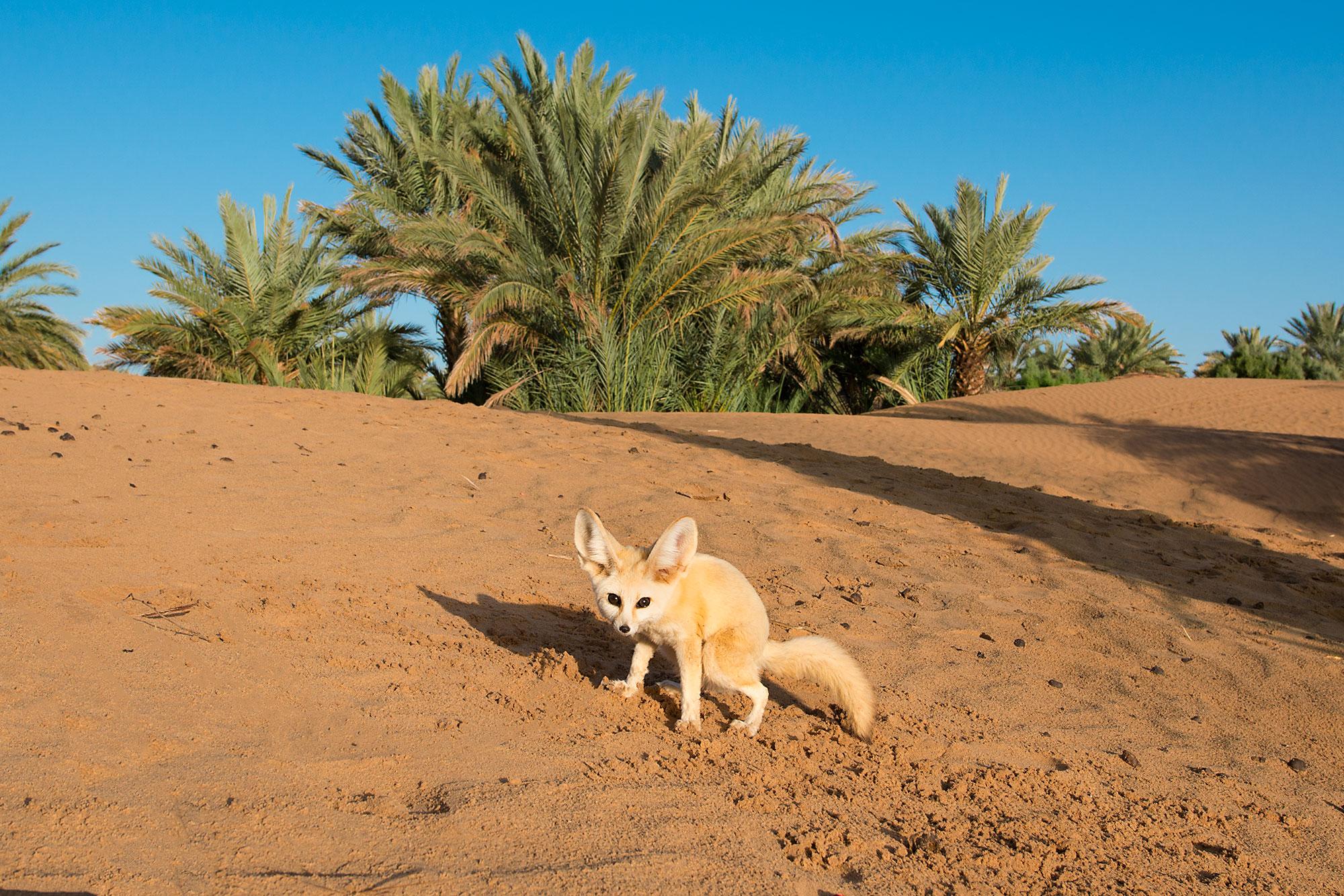 Desert Fox Morocco