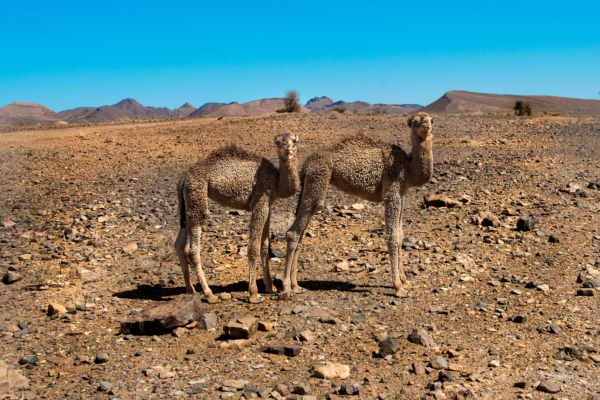 Young camels Morocco