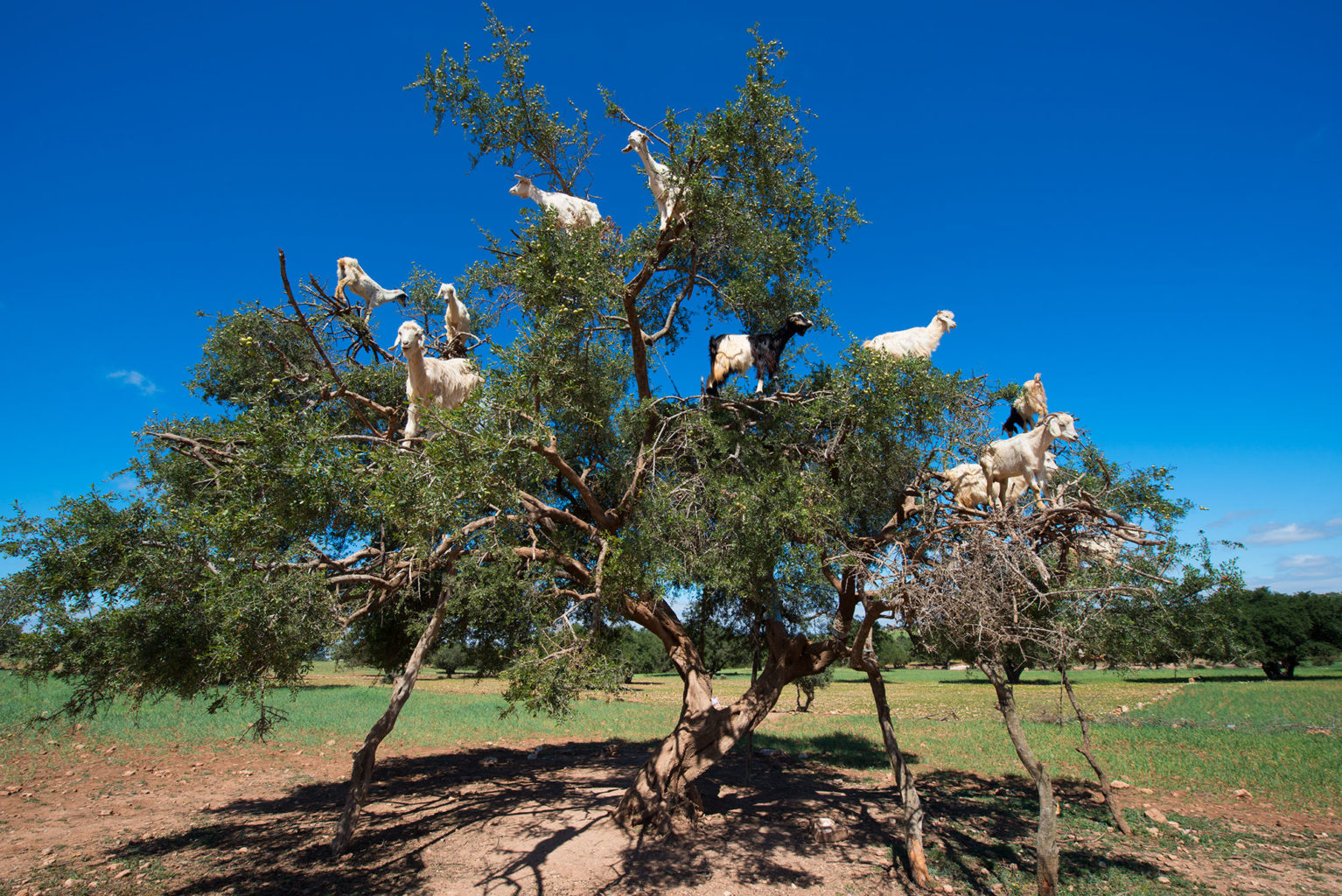 The Goat Tree on the road from ;arrakech to Essaouira Morocco