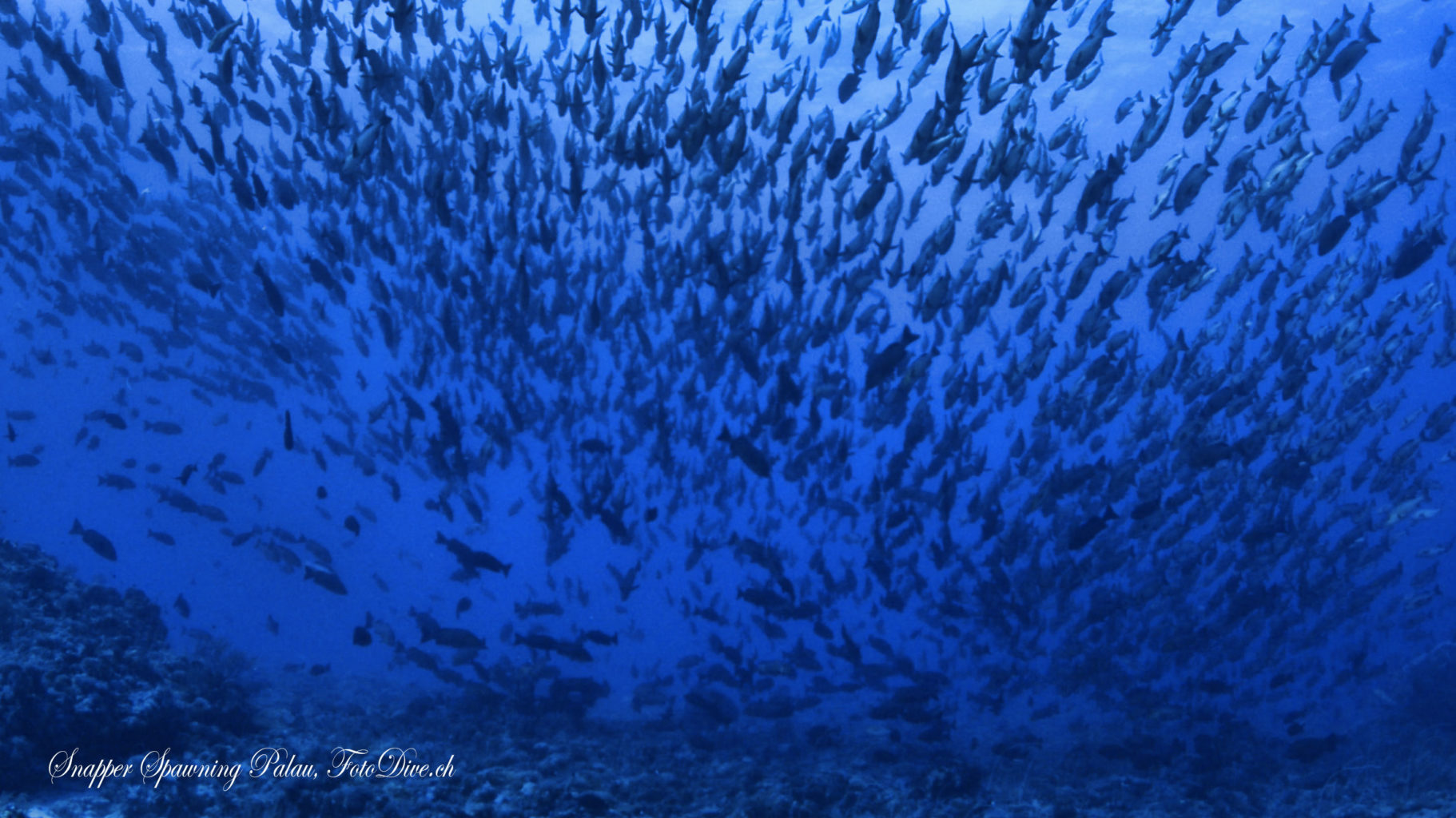 Snapper Spawning Palau