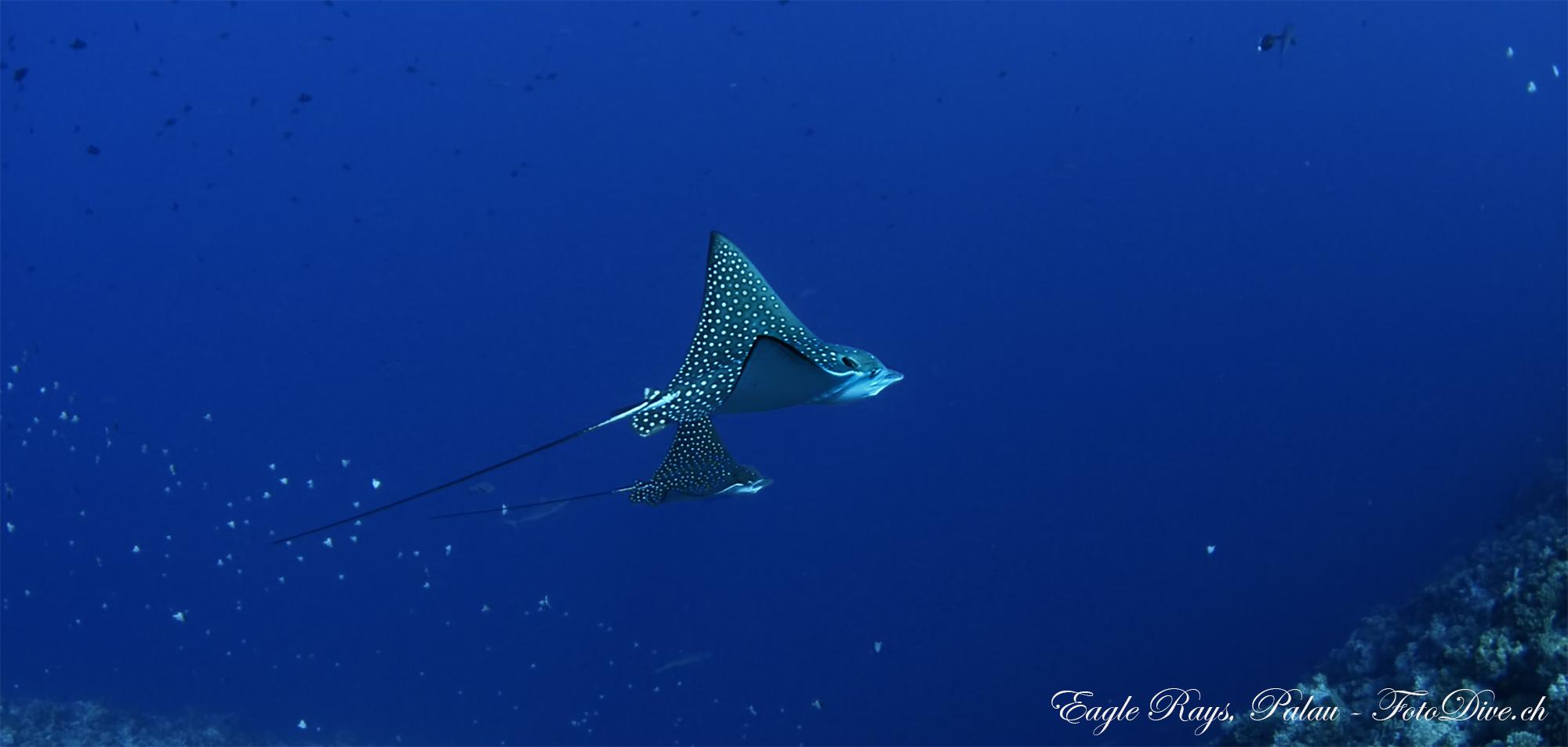 Eagle Rays Palau