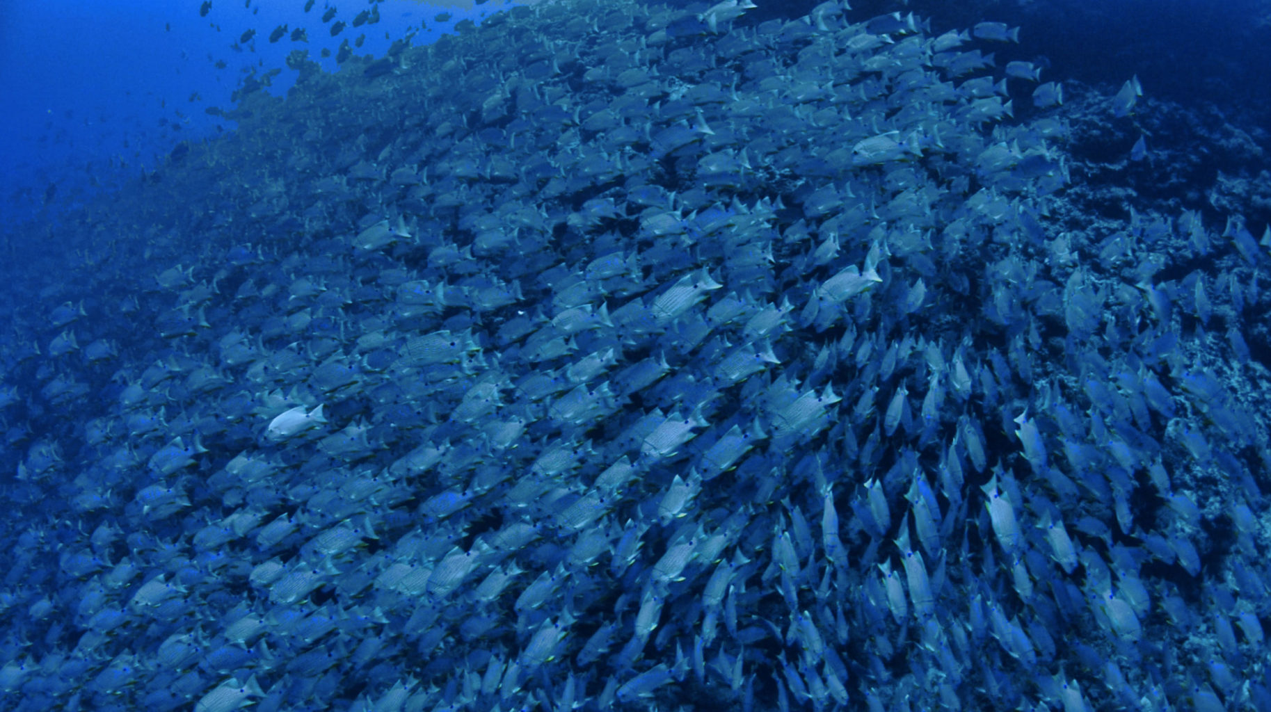 Blue Striped Sea Breams Spawning Palau