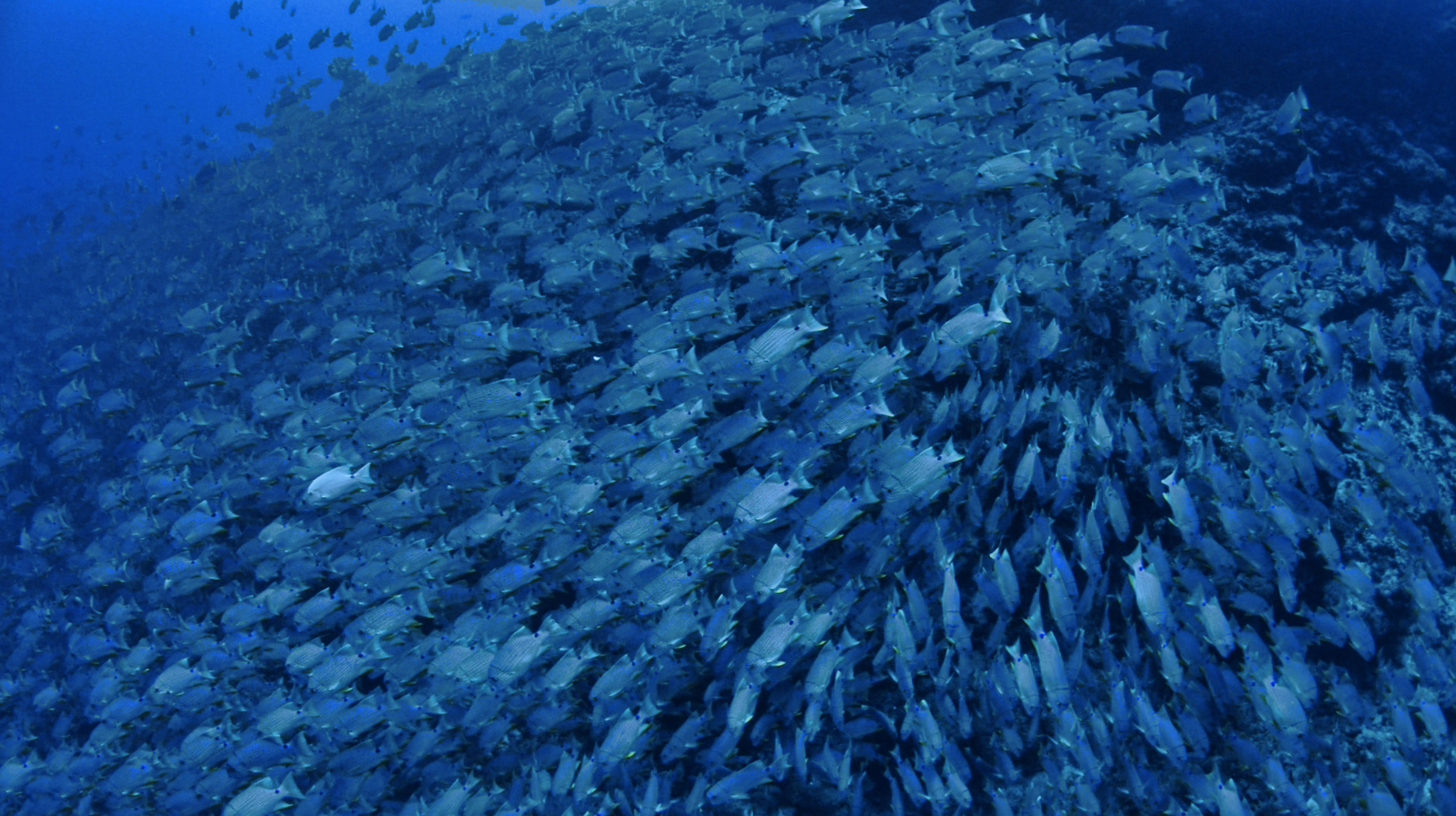 Blue Striped Sea Breams Spawning Palau