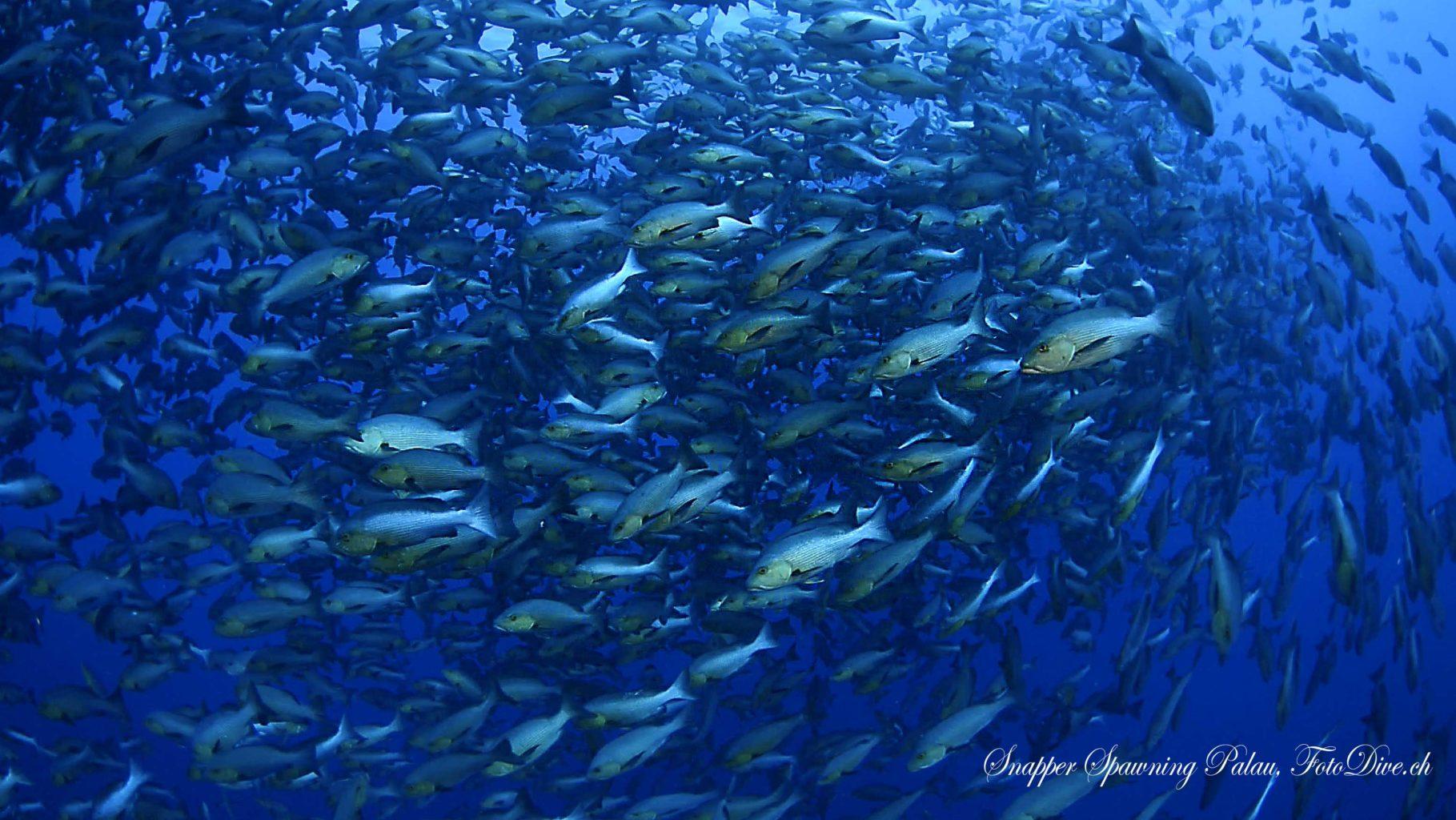 Snapper Spawning Palau